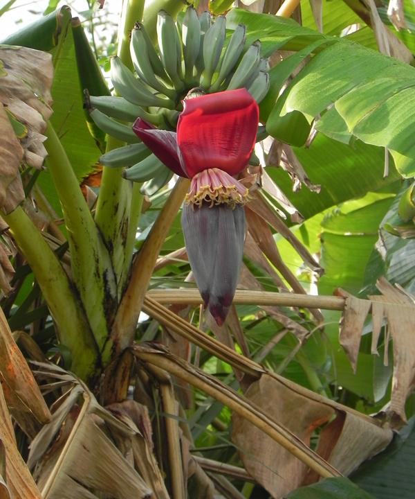 bigcypressswampbanannas